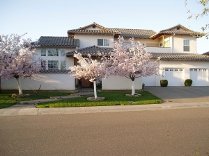 Beautiful cherry blossom trees at Crilly's house.