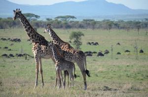 Magnificent giraffes